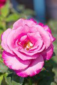 Pink Rose In A Garden.