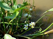 Arrowhead or Duck Potato...Flowering Water Plant