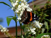Lovely Orange and Black butterfly with snout