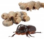 foto of oryctes  - Rhinoceros beetle and larva the rhinoceros on a white background - JPG