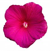 stock photo of hibiscus flower  - nature hibiscus flower isolated on white background - JPG