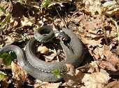 Coiled up baby grass snake