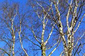 White Birch Trees across the Blue Sky