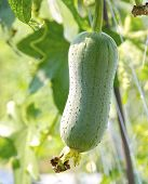 The close view of loofah gourd