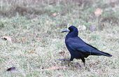 Crow walking in the grass.