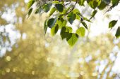 Pho Or Bodhi Leaf On Blur Background