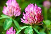 stock photo of red clover  - flowering clover - JPG