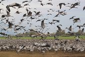 stock photo of stork  - A flock of many hundreds of stork birds. Some of the birds are feeding on the ground some are flying in the air. Conveys a feeling of a huge crowd of birds. Such a flock can be devastating to agricultural fields.
