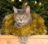 Blue tabby cat in golden tinsel with a Christmas tree background