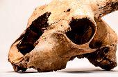 stock photo of goat horns  - Dry Goat Skull with Big Horns on White Background - JPG