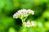 White Valeriana Flower On Green Blurred Background, Closeup