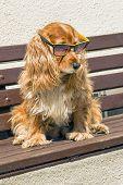 Coker spaniel with sunglasses