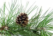 Pine Branch And Pine Cone