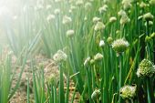 Closeup Of Onion Plants In A Vegetable Farm