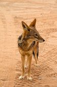 foto of jackal  - A wild jackal in the namibian desert - JPG