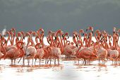 Постер, плакат: greater flamingos