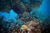 foto of sweeper  - Shoal of Glassfish  - JPG