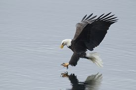 foto of fish-eagle  - A bald eagle swoops in to the water to catch a fish - JPG