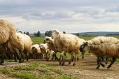 stock photo of inner ear  - Flock of typical sicilian sheep with long hair - JPG
