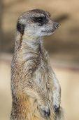 foto of meerkats  - Close up of a meerkat  - JPG