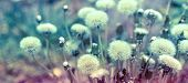 picture of dandelion seed  - Beautiful nature - Dandelion seeds (fluffy blowball) close up