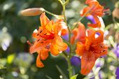 picture of lily  - The Lily Lilium is a genus of the lily family Liliaceae with about 110 species - JPG