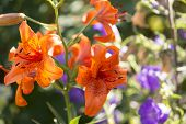 pic of lily  - The Lily Lilium is a genus of the lily family Liliaceae with about 110 species - JPG