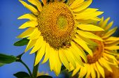 stock photo of bee keeping  - A bee collects nectar from yellow sunflower - JPG