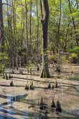 picture of swamps  - Bald Cypress trees in the swamps of First Landing State Park located in Virginia Beach Va - JPG