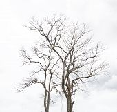 image of dead-line  - Dead Tree without Leaves outdoor natural drought - JPG