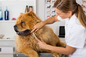 image of chow-chow  - Canine hairdresser in a beauty clinic with Chow Chow - JPG