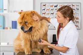 picture of chow-chow  - Veterinary by listening to a Chow Chow dog in his clinic - JPG