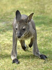 stock photo of wallabies  - Juvenile Red-necked Wallaby juming resting in its habitat ** Note: Shallow depth of field - JPG