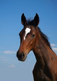 picture of fillies  - Portrait of beautiful bay filly  on a sky background - JPG