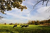 stock photo of naturel  - Cows in a meadow - JPG