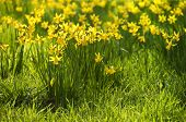 Yellow daffodils, spring flower