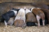 A litter of baby pigs fights for food