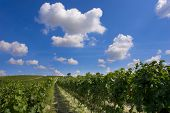 Photo of a vineyard against a blue sky with clouds