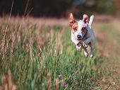 Dog running. Jumping pet at summer poster