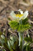 Wasp On Anemone
