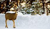 Deer On Snow