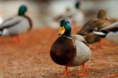 Male Mallard Duck With In His Flock