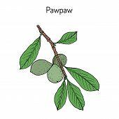 Paw-paw Asimina Triloba , Medicinal Plant. Hand Drawn Botanical Vector Illustration poster