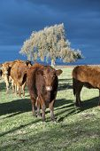 Winter Limousin Cattle