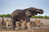 African Elephant Drinks Water At A Waterhole In Etosha National Park, Namibia, Surrounded By Zebras. poster