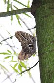 Copulating Butterflies