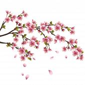Sakura Blossom - Japanese Cherry Tree Isolated On White Background