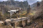Peruvian Goat