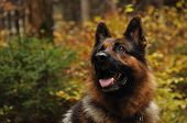 German shepard in autumn wood
