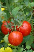 image of tomato plant  - Close up of a bunch of growing tomatoes - JPG